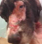 犬放射線治療やけど顔